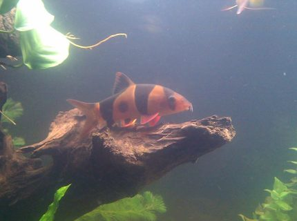 freshwater fish - botia macracantha - clown loach stocking in 125 gallons tank - Clown Loach