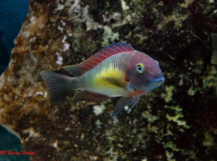 freshwater fish - tropheus moorii - blunthead cichlid stocking in 125 gallons tank - Red Rainbow