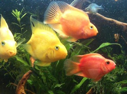freshwater fish - heros severus x amphilophus citrinellum - blood parrot stocking in 50 gallons tank - parrot fish
