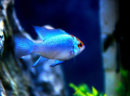 Rated #5: Freshwater Fish Stocking In 52 Gallons Tank - Electric Blues!!