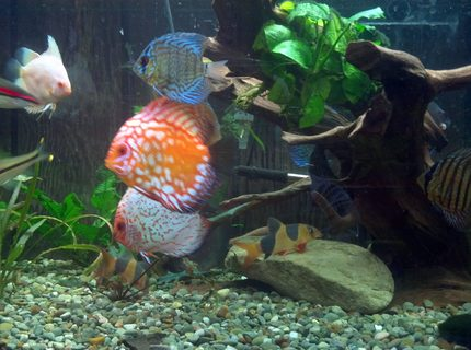 Rated #10: Freshwater Fish Stocking In 220 Gallons Tank - a couple of my discus