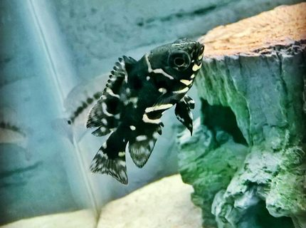 Rated #4: Freshwater Fish Stocking In 125 Gallons Tank - Baby Tiger Oscar