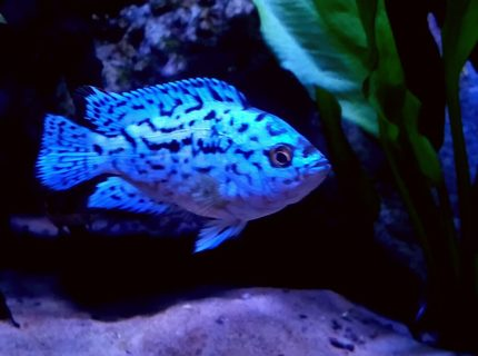 Rated #10: Freshwater Fish Stocking In 90 Gallons Tank - Electric blue jack dempsey