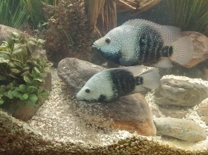 Rated #7: Freshwater Fish Stocking In 150 Gallons Tank - Breeding pair of texas cichlids