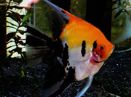 Rated #9: Freshwater Fish Stocking In 34 Gallons Tank - My Beautiful Blushing Koi Angelfish, Samson, a nearly full grown male.  (I think he is a male!)