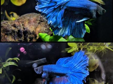 freshwater fish stocking in 8 gallons tank - Halfmoon, Rosetail Male Betta. Royal Blue with White Trim.