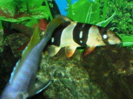 freshwater fish - botia macracantha - clown loach stocking in 90 gallons tank - my clown loach... look at the white strip