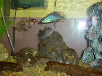 freshwater fish - dimidiochromis compressiceps - compressiceps cichlid stocking in 40 gallons tank - Cichild Tank