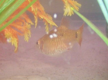 freshwater fish - puntius sachsii - gold barb stocking in 29 gallons tank - a gold barb