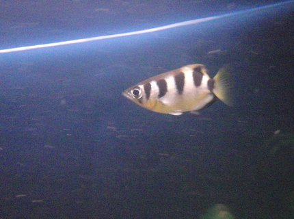 freshwater fish - toxotes jaculatrix - archer fish stocking in 60 gallons tank - Archerfish hunting.