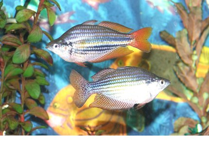 freshwater fish - melanotaenia splendida - australian rainbow stocking in 110 gallons tank - Male Rainbow display