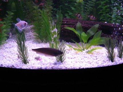 freshwater fish - metynnis argenteus - silver dollar stocking in 36 gallons tank - Creature of the Night