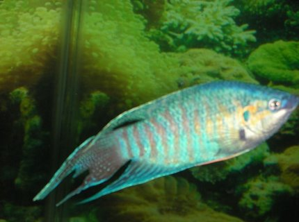 freshwater fish - macropodus opercularis - blue paradise stocking in 75 gallons tank - male paradise fish in full courting colors
