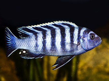 "freshwater fish - cynotilapia afra - afra cichlid stocking in 160 gallons tank - Afra ""Chimate"""