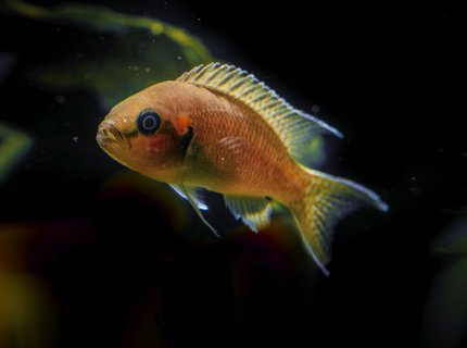 freshwater fish stocking in 53 gallons tank - cichlid princess