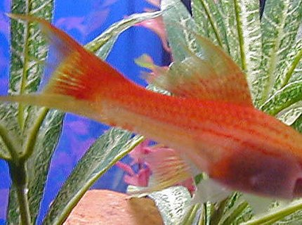 freshwater fish - xiphophorus helleri - assorted swordtail stocking in 50 gallons tank - female swordtail - one of our favorites - died last week - RIP