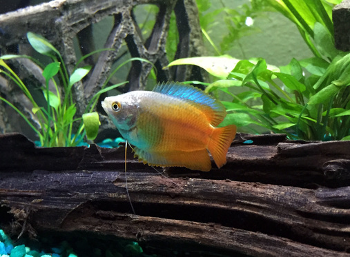 Keeping dwarf gouramis in the freshwater tank for Large peaceful community fish