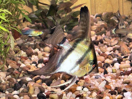 Беременная рыба не хочет умирать