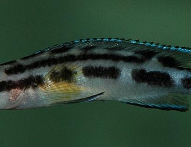 freshwater fish - julidochromis transcriptus - the masked julie - Julidochromis transcriptus, a lovely species adapted to be slim so they can fit into very small caves and rockwork.