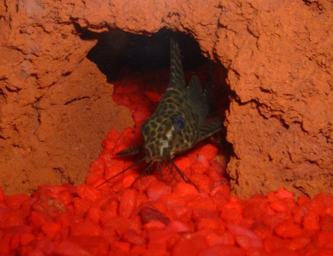 freshwater fish - synodontis nigrita - lace catfish stocking in 30 gallons tank - Lace Catfish in his favorite little hiding spot