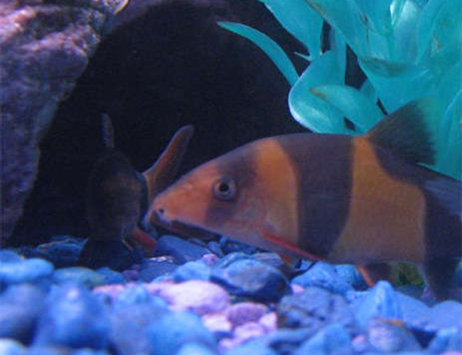 freshwater fish - botia macracantha - clown loach stocking in 55 gallons tank - Clown Loach (you can see his buddy in the background afraid of the camera)