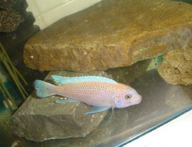 freshwater fish - maylandia estherae - cherry red cichlid stocking in 70 gallons tank - maylandia male