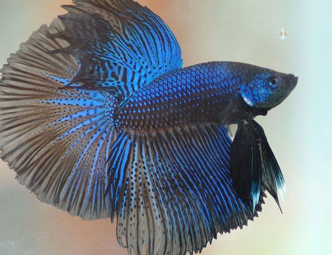 freshwater fish - betta splendens - half moon betta stocking in 30 gallons tank - pic