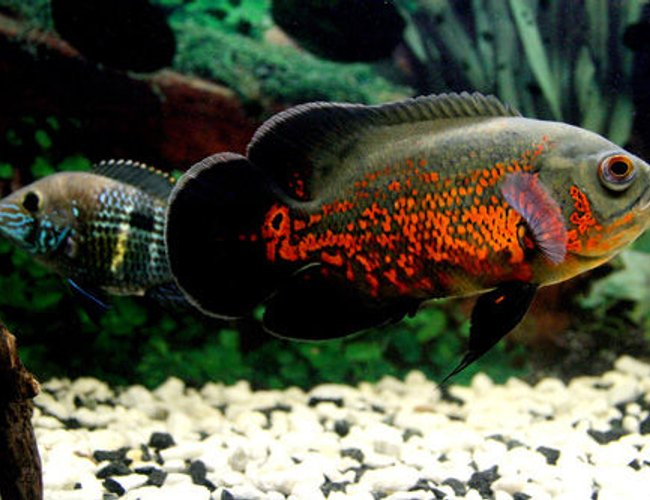 freshwater fish - astronotus ocellatus - tiger oscar stocking in 17 gallons tank - My Oscar