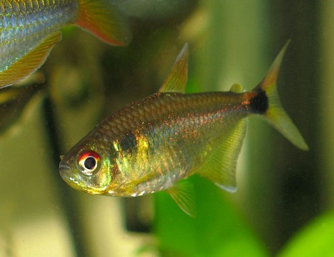 freshwater fish - hemigrammus ocellifer - head and tail light tetra stocking in 30 gallons tank - head/tailight tetra