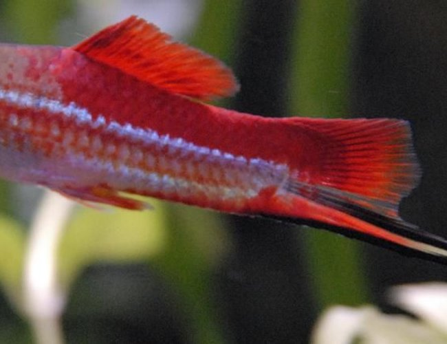 "freshwater fish - xiphophorus helleri - swordtail stocking in 55 gallons tank - 3"" Neon Swordtail"