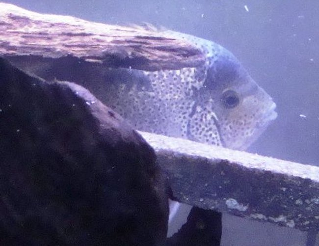 freshwater fish - vieja argentea - white cichlid stocking in 55 gallons tank - Vieja argentea peekin out