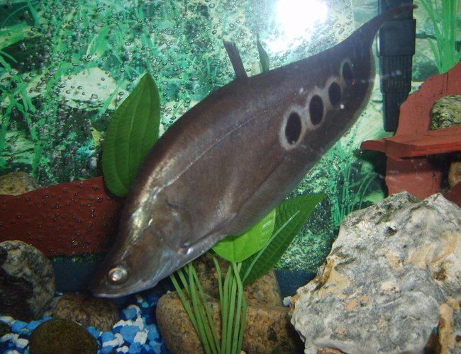freshwater fish - notopterus chitala - clown knife fish stocking in 55 gallons tank - large clown knife