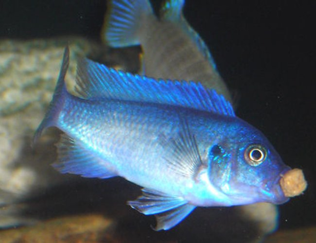 freshwater fish - maylandia callainos - blue cobalt cichlid stocking in 55 gallons tank - Blue Cobalt Mbuna Cichlid eating!
