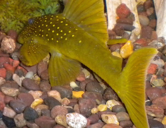 freshwater fish - baryancistrus demantoides - green phantom pleco stocking in 180 gallons tank - Green Phantom pleco