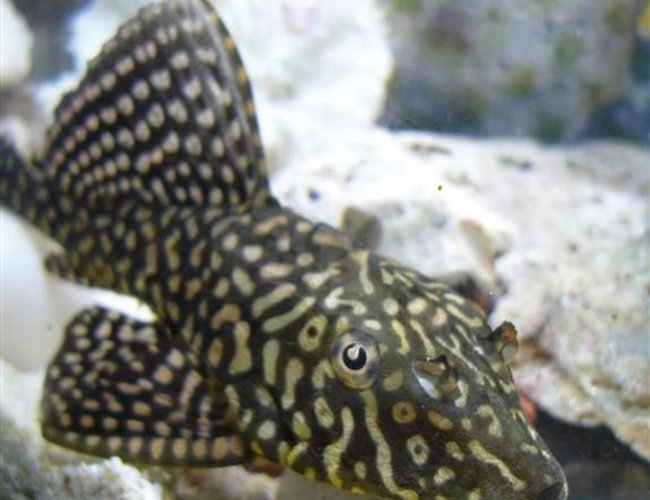 freshwater fish - pterygoplichthys joselimaianus - gold spot pleco (l-001, l-022) stocking in 16 gallons tank