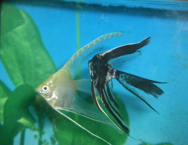 freshwater fish - pterophyllum sp. - gold veil angel stocking in 40 gallons tank - My 2 veil tail angel fish. I hope the become a mating pair!!