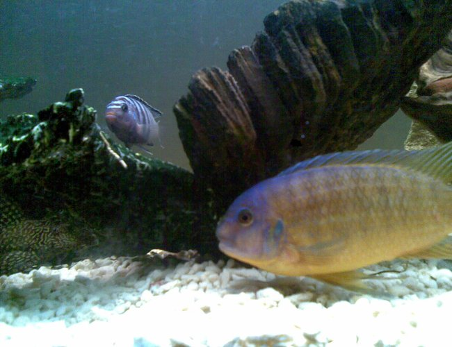 freshwater fish - cryptoheros cutteri - cutteri cichlid stocking in 53 gallons tank - X 2