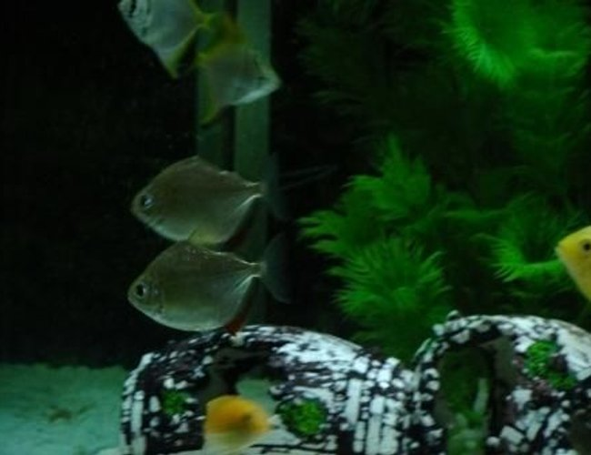 freshwater fish - metynnis argenteus - silver dollar stocking in 100 gallons tank - Silver Dollars
