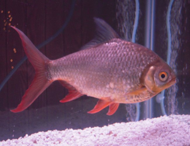 freshwater fish - barbus schwanefeldi - tinfoil red tail barb stocking in 55 gallons tank - my 14yr old red fin tinfoil barb