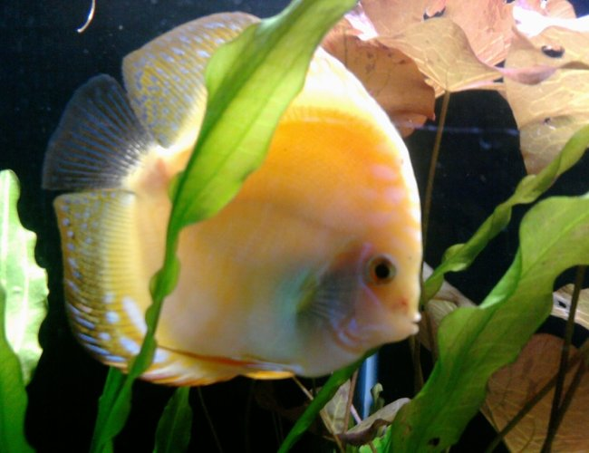 freshwater fish - symphysodon sp. - pigeon blood discus stocking in 135 gallons tank