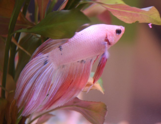 freshwater fish - betta splendens - betta - male stocking in 4 gallons tank - King Coral [K.C.]