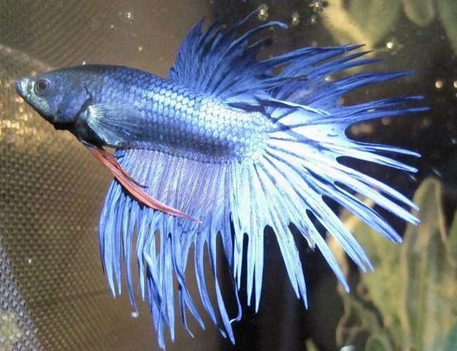 freshwater fish - betta splendens - crown tail betta stocking in 20 gallons tank - My Beautiful Betta Benni :)
