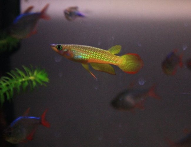 freshwater fish - pachypanchax playfairi - golden dream panchax killifish stocking in 64 gallons tank - Golden Panchax - incredibly inquisitive fish!