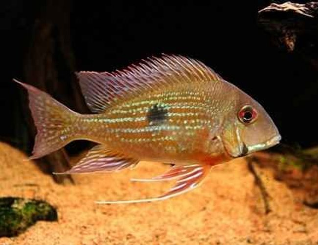 freshwater fish - satanoperca jurupari - eartheater stocking in 5 gallons tank - rate