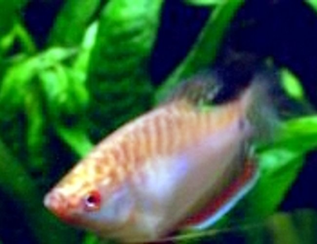 freshwater fish - sphaerichthys osphromenoides - chocolate gourami stocking in 85 gallons tank - How still can a fish get?