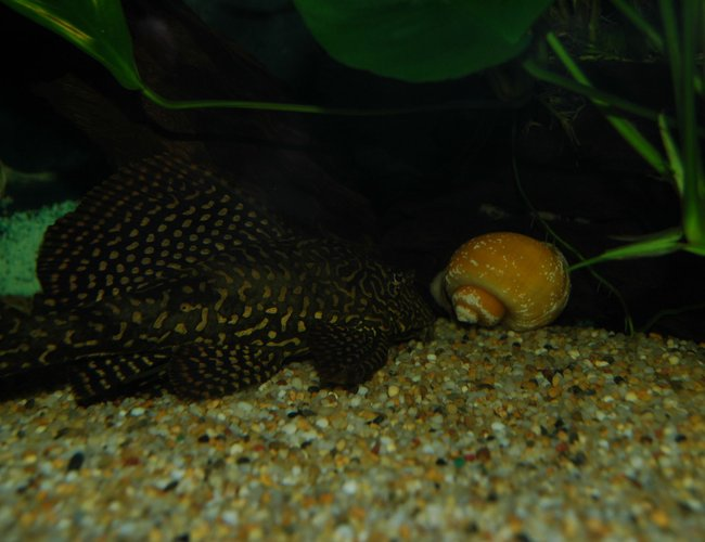 freshwater fish - pterygoplichthys joselimaianus - gold spotted pleco (l-001, l-022) stocking in 130 gallons tank