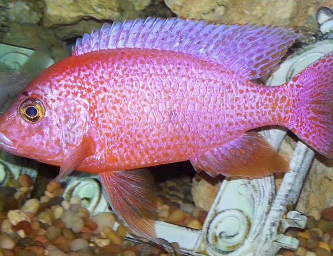 freshwater fish - haplochromis sp. - fire cichlid stocking in 75 gallons tank - Fire cichlid