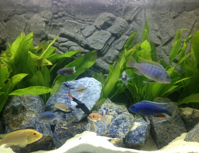 freshwater fish - epalzeorhynchos bicolor - redtail shark stocking in 100 gallons tank - Cichlids tank