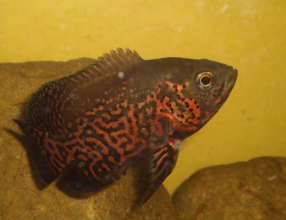Rated #48: Freshwater Fish - Astronotus Ocellatus - Tiger Oscar Stocking In 40 Gallons Tank - oscar fish it's name is oscar