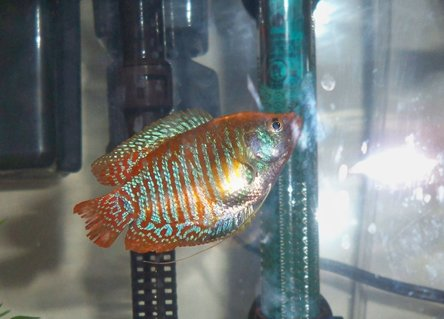Rated #44: Freshwater Fish - Colisa Lalia - Dwarf Gourami Stocking In 10 Gallons Tank - my dwarf gourami